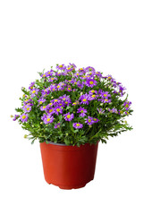 Purple daisy in the pot
