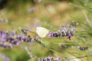 papillon et sa lavande