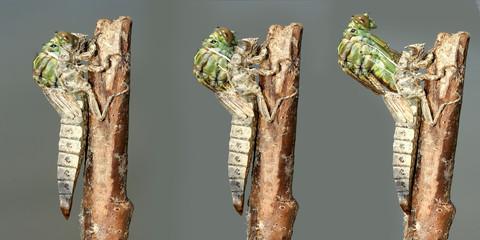 Metamorphosis of  River Clubtail dragonfly