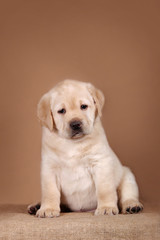 Cute labrador retriever puppy.