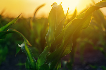 Corn plantation in sunset