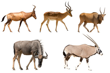 Set of five different antelopes - hartebeest, wildebeest, eland, impala, oryx - isolated on white background