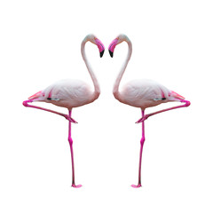 flamingo isolated on white background ,Beautiful bird