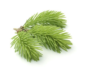 Young sprig of spruce isolated