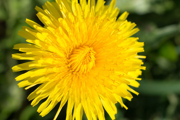 Dandelion in Saint Petersburg, Russia - Nature photography - Macro photography
