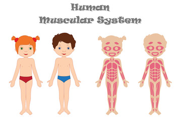 Human muscular system for kids