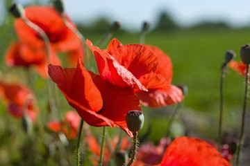 Several poppies in front of green field and blue sky on sunny summer day