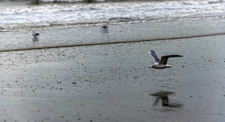 low-flying Seagull