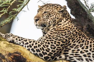 Resting leopard in a tree