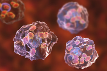 Macrophages infected by Leishmania amastigotes, 3D illustration