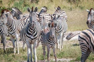 Several Zebras bonding in the grass.