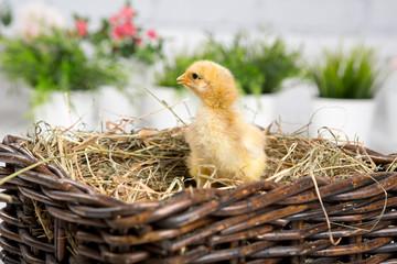 nestling chick. farm chicken.baby