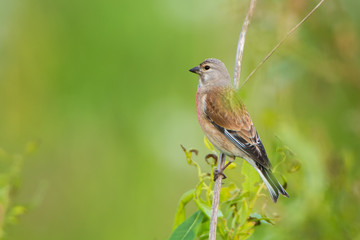 The singing bird Carduelis cannabina. Green blurred background. Summer.