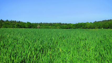 Young Green Barley Field Farm in Rural England, UK