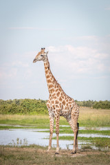 A Giraffe standing in the grass.