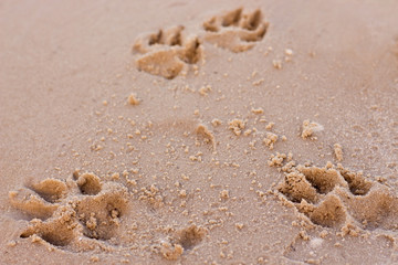 dog prints on sand perspective close up view