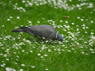 Pigeon biset dans l'herbe, St James's Park, Londres