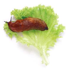 Nacktschnecke auf Salatblatt