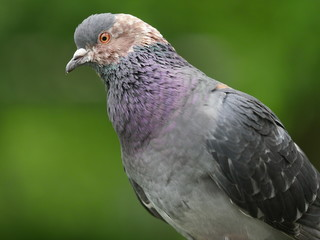 Pigeon biset, gros plan, St James's Park, Londres