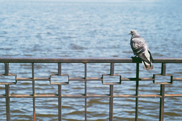 Pigeon is sitting on the poling at the lake