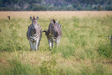 Two Zebras looking at the camera.