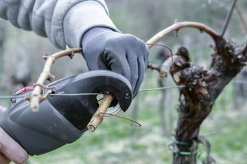 Working in the winegarden. Pruning branches.