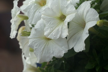 white flowers in a pot after rain, outdoors