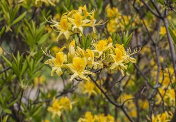 Yellow Rhododendron.  Azalea  branch.