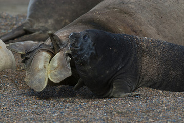 Elefhant Seal