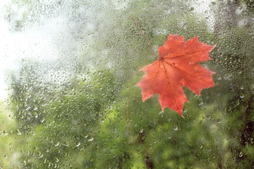 beginning  autumn season/ The first red Maple leaf was stuck on the window wet from raindrops