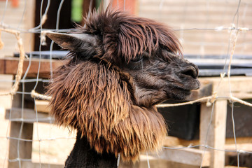 alpaca and llama with funny hairstyle