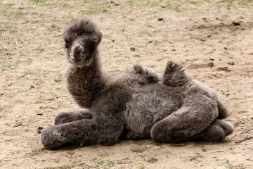 newborn camel