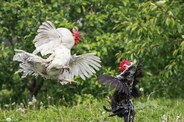 black and white fighting cocks flapping their wings and flying in the summer garden