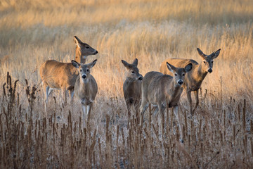 White-tailed Deer Does Moving At Sunrise