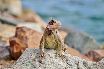 Iguana sunning on the rocks in St. Thomas