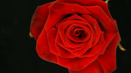 Fotoväggar - Time lapse of fresh blooming red rose isolated on black background. Top view. 4K UHD video 3840X2160
