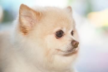 Fluffy Pom Pomeranian cute dog small pet friendly.