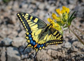 Schwalbenschwanz / swallowtail butterfly
