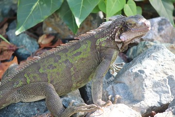 Iguana sunning on the rocks in St. Thomas