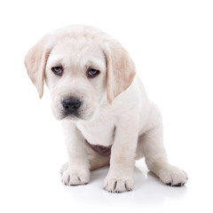 Tired and sick Labrador Retriever puppy dog on white
