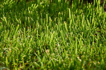 Grass closeup in sunny weather