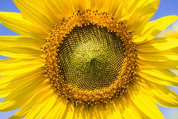 Closeup Sunflower,  Sunflower facing the sun.  Bright yellow sunflower   Lopburi  , Thailand