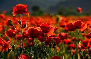 poppy flowers field at sunset