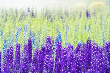 Lavender field in bloom,view of formal garden.