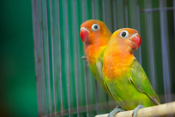 Lovebird inside the cage