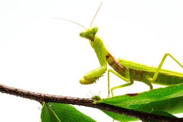 Mantis on green leaf on white background. Green mantis on tree branch.