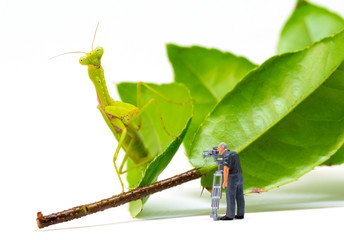 Videographer and green mantis. Videographer work in process. Exotic insect Mantis hunting tiny puppet.