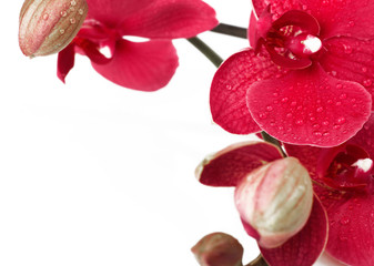 Red orchid closeup on white