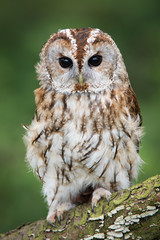 A very close full length portrait of a tawny owl with ruffled feathers facing forward and perched on a branch in upright vertical format