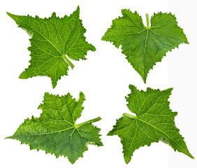 cucumber leaf  solated on white